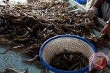Padang Pariaman Produces 1,500 Tons Whiteleg Shrimps