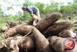 Di Kendari, harga ketela pohon capai Rp10.000/kg