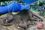 Satu gajah liar mati tanpa gading