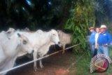 Kotawaringin Barat Mampu Swasembada Sapi Potong Berkat Program Ini