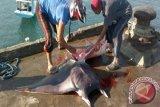 Nelayan pemburu pari manta perlu dibimbing
