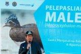 17 Ekor Maleo Dilepasliarkan Ke SM Bangkiriang