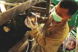 Pemkab Kolaka siapkan dokter pantau daging kurban