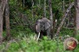 Gajah Sumatra jinak penghuni Conservation Response Unit (CRU) Sampoiniet di Desa Ie Jeurneh, Aceh Jaya, Aceh, Minggu (3/9/2017). Gajah jinak yang ditempatkan di CRU untuk mengatasi atau menggiring kawanan gajah liar yang memasuki kawasan pemukiman penduduk. (ANTARA FOTO/Irwansyah Putra)