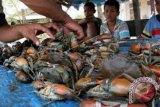 Produksi kepiting bakau Kendari capai 40 ton/tahun