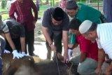Kebutuhan kurban di Dumai diprediksi 2.500 ternak