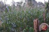 Kendari Kembangkan Lahan Jagung 500 Hektare