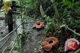 Empat Rafflesia arnoldii mekar di hutan Bengkulu