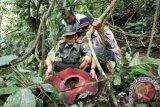 21 Bunga rafflesia tumbuh di hutan Maninjau