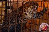 Warga bunuh macan tutul penyerang perempuan hingga tewas
