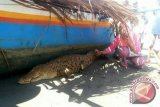 Nelayan Tondowolio Tangkap Buaya