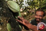 533 petani kakao Poso terima sertifikat internasional