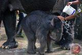 Kelahiran Bayi Gajah Tesso Nilo