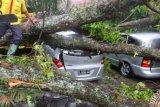 Dilanda Cuaca Ekstreme, Pemko Pekanbaru Waspadai Pohon Berpotensi Tumbang