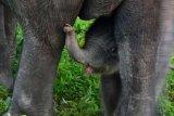 Festival Tesso Nilo Semakin Meriah Dengan kelahiran Bayi Gajah Jantan