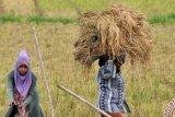 Bulog NTT beli beras dari petani lokal sebanyak 403 ton