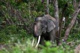 Ini Strategi BBKSDA Giring Kawanan Gajah Liar dengan Petasan