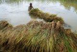 Banjir luapan muara Pantai Samas terjadi lebih cepat