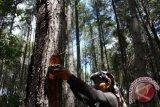 SPORC-KLHK Gagalkan Peredaran Getah Pinus Toraja