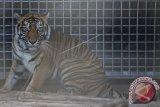 Sepasang anak Harimau Sumatera lahir di TMSBK Bukittinggi