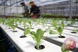 Ruko di Mataram akan Jadi Lahan Pertanian Hidroponik