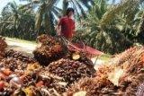 Harga CPO di Jambi naik Rp164 per kg