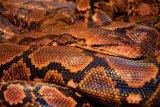 Ular piton kekenyangan ditangkap dari Desa Api-api Riau