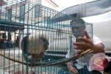 Pertamina bantu konservasi Gajah Sumatera dan Elang Bondol