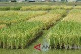 Manfaatkan lahan rawa, Indonesia berpotensi jadi lumbung pangan dunia