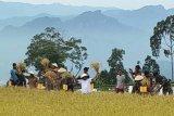 Pemkab Toraja Utara panen padi organik