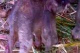 Telah Lahir Bayi Gajah di Suaka Margasatwa Balai Raja Bengkalis