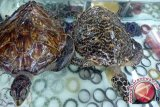 Polrestabes Makassar bekuk WNA selundupkan sisik penyu