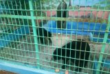 Untuk perawatan lebih baik, 2 beruang madu dipindah ke Sragen