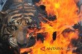 Bangkai Harimau Suamtera taman rimba Jambi dibakar