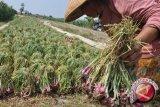 Bawang termasuk komoditi hortikultura unggulan sigi