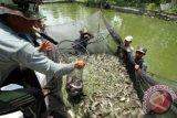 Kelompok budidaya ikan lele panen perdana