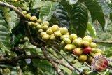 Sigi jadikan kopi komoditi ekspor