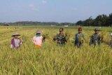 Panen Padi Perdana, Koramil Tempuling Hasilkan Rata-Rata 2 Ton per Hektare