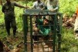 Tangkap Harimau, BBKSDA Riau Gunakan Perangkap dengan Umpan Kambing dan Babi Hutan, Hasilnya?