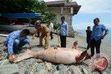 Ikan dugong terjaring jala nelayan di Kepulauan Kei