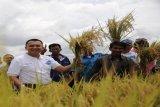 Varietas 400 Padi Unggulan Kabupaten Pringsewu