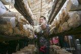 Panen Jamur Tiram Binaan Pertamina MOR II