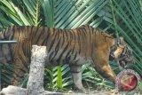 Harimau di Taman Rimba Jambi cidera kaki