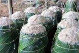 Produksi Sagu Meranti 250 Ribu Ton pertahun, Perputaran Uangnya Rp450 Miliar