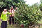 Sumbar bantu Solok Selatan 3.300 bibit manggis