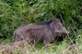 Seorang warga tewas diserang babi hutan yang mengamuk masuk ke dalam rumah
