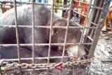Empat tersangka pembantai beruang diserahkan ke polisi oleh KLHK