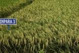 Inilah varietas padi inpara yang mampu berproduksi tinggi di lahan rawa