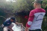 Hampir sepekan, bagaimana hasil BKSDA memancing buaya Sungai Mentaya?