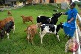 Disnakan Imbau peternak terapkan metode kawin suntik